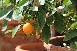 das Bild zeigt eine kleine Orange am Strauch