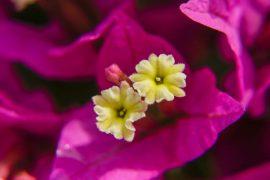 Die cremefarbenen Blüten der Bougainvillea, immer zu dritt © Siegbert Matheis