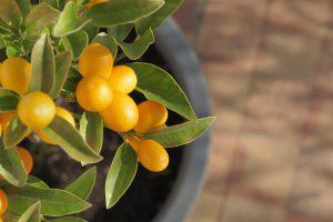 mediterrane zitrusfrüchte im topf