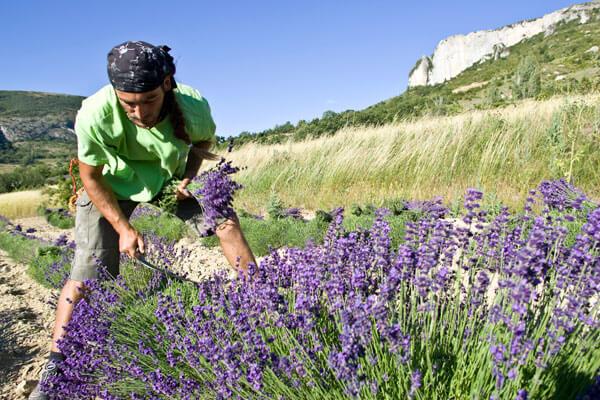 Lavendelschnitt