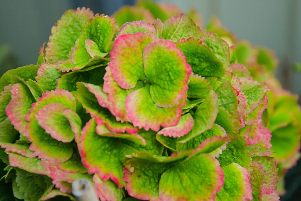 Warum Wechseln Hortensien Ihre Farbe Hintergrund Hortensien Kaufen