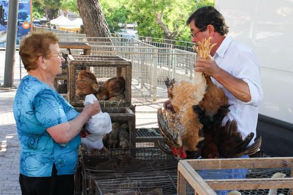 Das Bild zeigt, wie ein Hühnerzüchter einen Hahn in eine Plastiktüte stopft