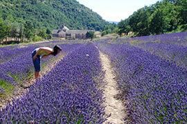 das Bild zeigt eine Frau über ein Lavendelfeld gebeugt
