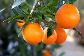 das Bild zeigt Orangen am Baum