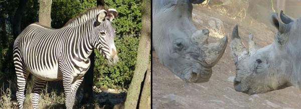 web_zebre-rhinos