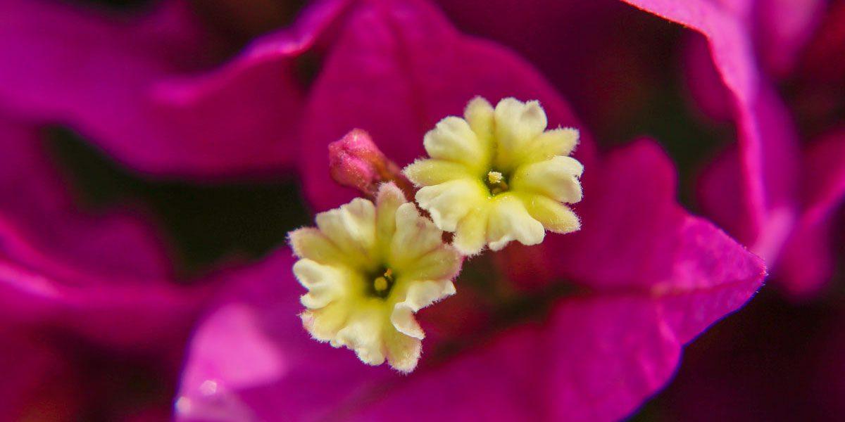 Bougainvillea Blüte © Siegbert Mattheis