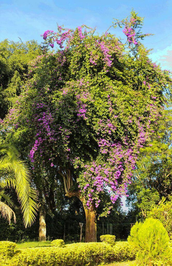 Bougainvillea kann eine Höhe von 12 m erreichen, hier als Baum in Kenia © Emkamau, Wikipedia