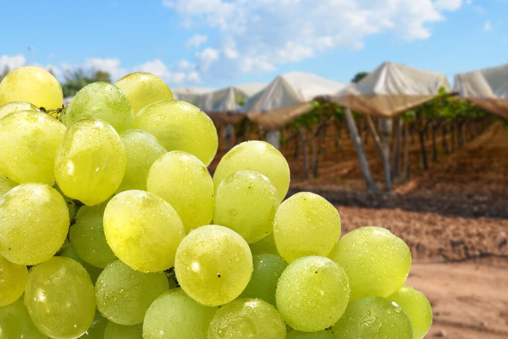 Italia-Weintraube © Siegbert Mattheis
