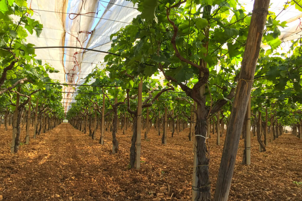 Italia-Wein-Trauben