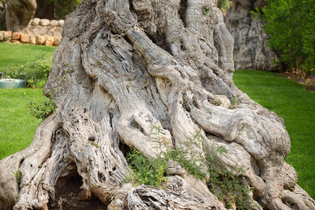 Olivenbaum in Apulien © Siegbert Mattheis