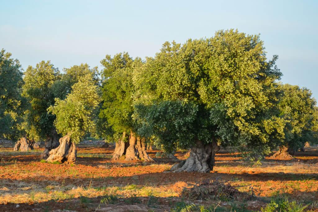 Olivenbäume auf der typisch rostbraunen Erde Apuliens © Siegbert Mattheis