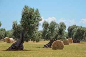 Olivenbaum-Apulien-03
