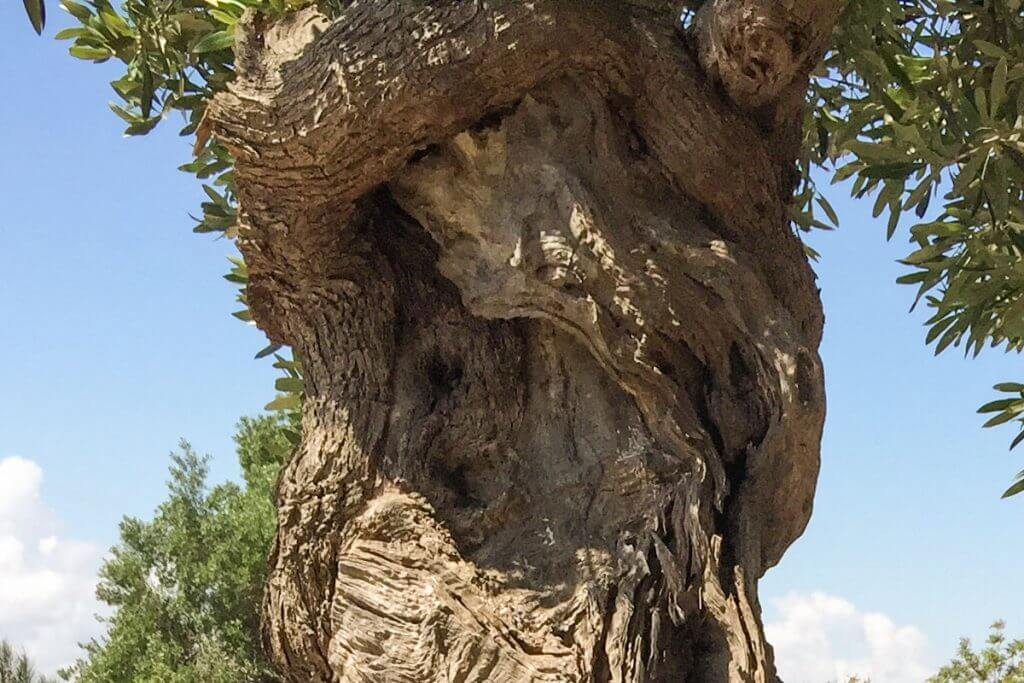 Olivenbäume in Apulien © Siegbert Mattheis