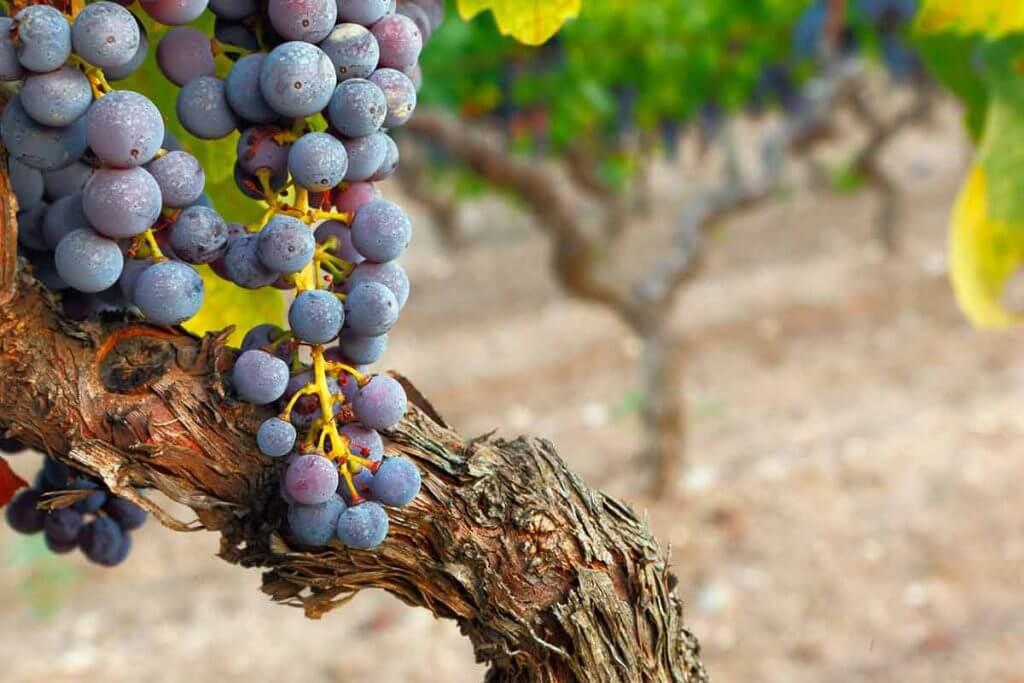 Wein aus Apulien