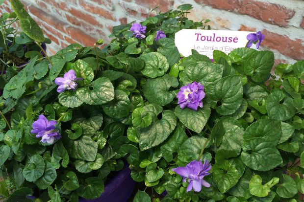 Veilchen von Toulouse