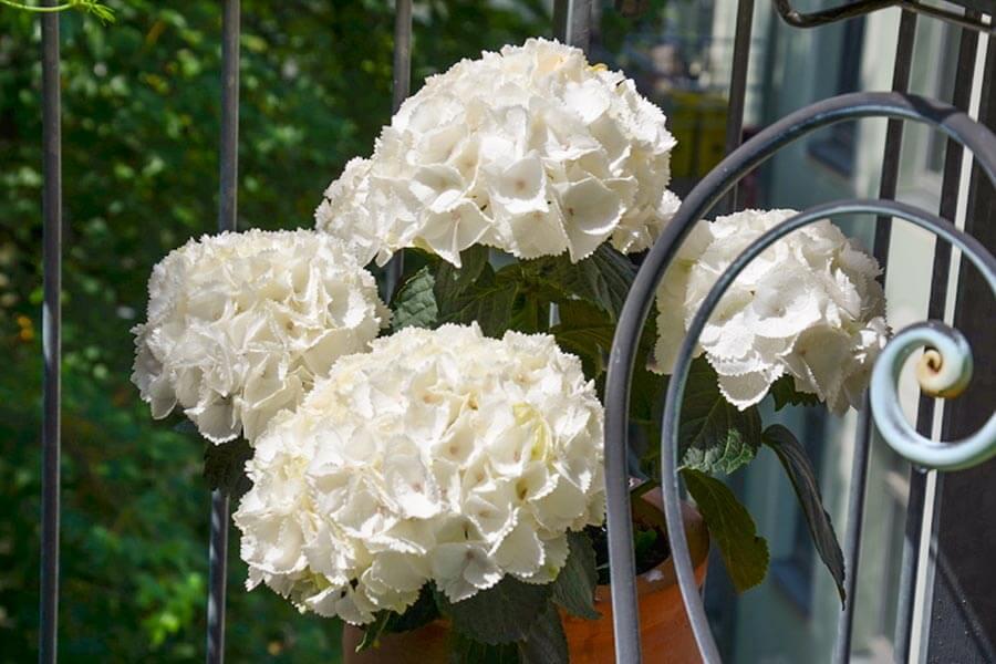Hortensien in Weiß © Siegbert Mattheis