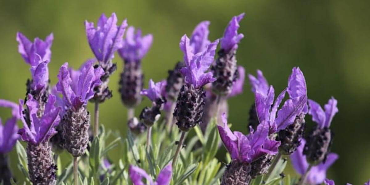 Mediterrane Pflanzen Lavendel © Siegbert Mattheis