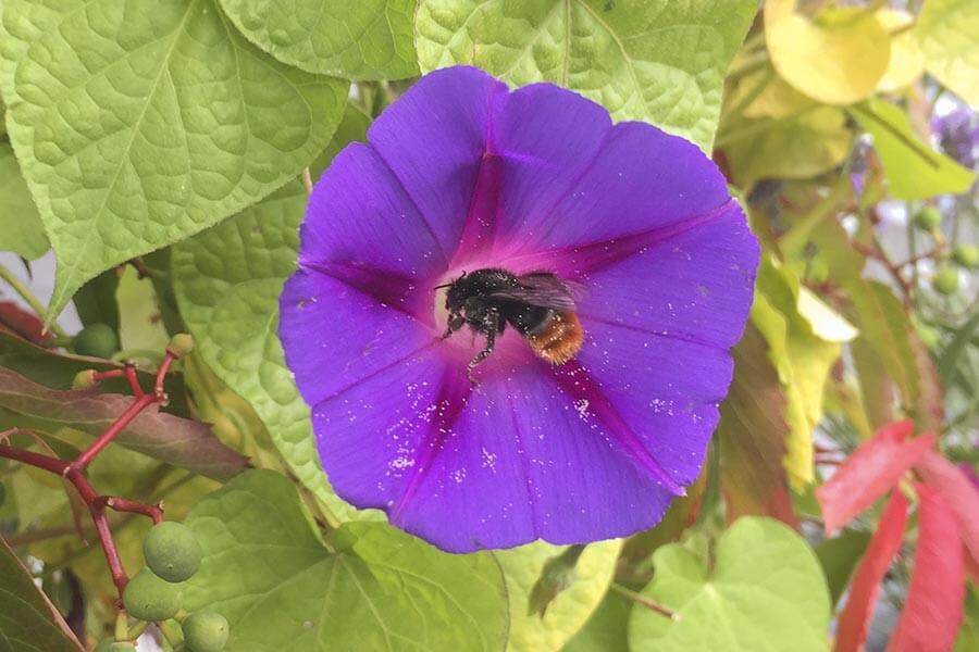 Bienen lieben Prunkwinden © Siegbert Mattheis