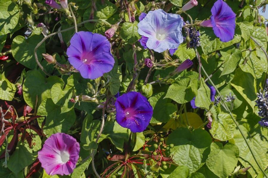 Von Hellblau über Rosa bis Violett rankt die Prunkwinde in vielen Farbnuancen © Siegbert Mattheis