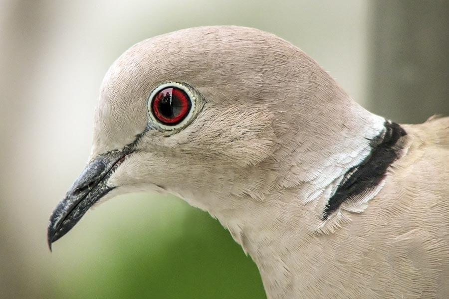 Türkentauben erkennt man sehr gut am markanten schwarz-weißen Halbring am Nacken © Wikipedia