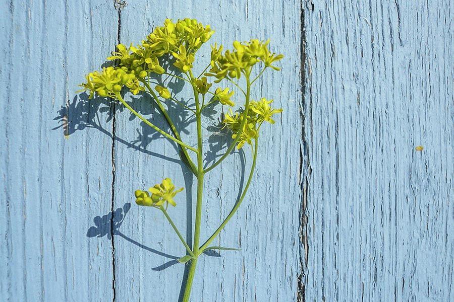 Pastel- / Faerberwaidpflanze