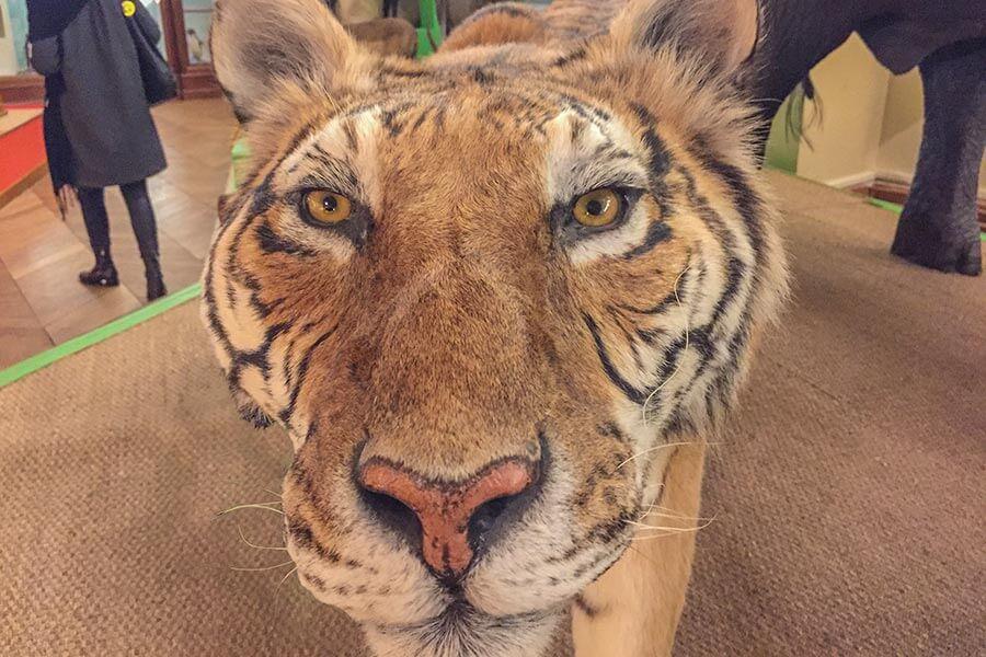 Tiger im Naturhistorischen Museum
