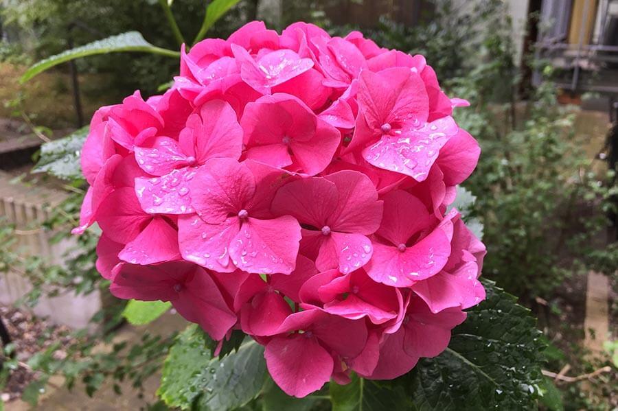 Hortensien blühen in vielen Farben und ändern diese je nach ph-Wert des Bodens © Siegbert Mattheis