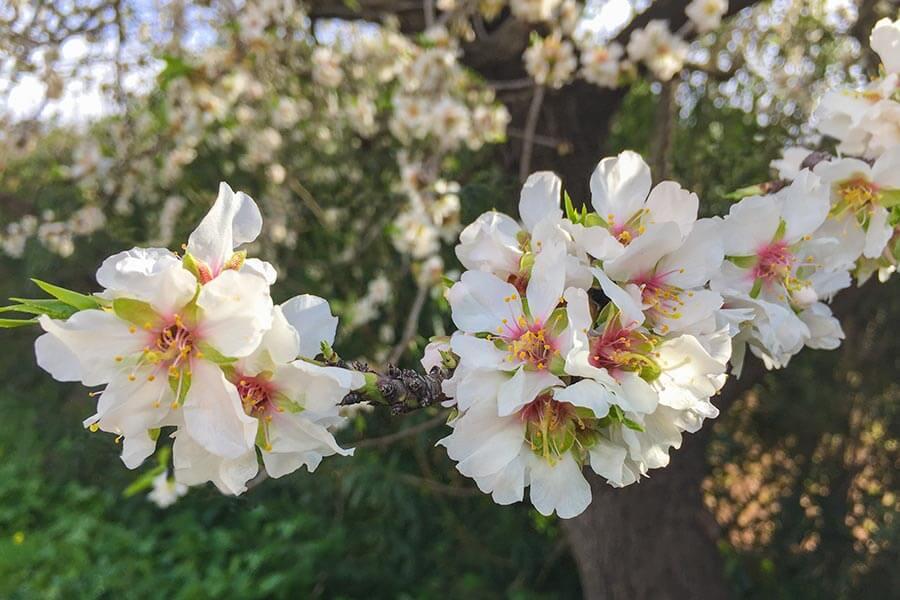 Mandelblüten verbreiten einen zart-süßlichen Duft © Siegbert Mattheis