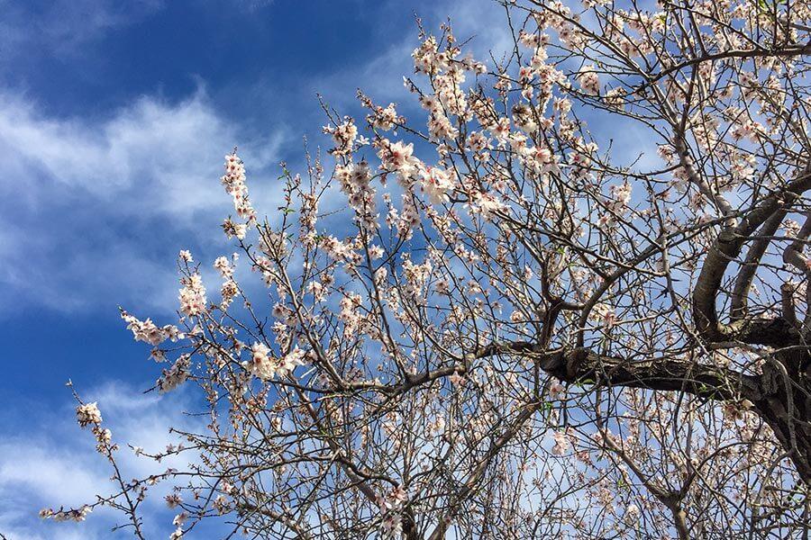 Mandelblüte in rosa und weiß © Siegbert Mattheis