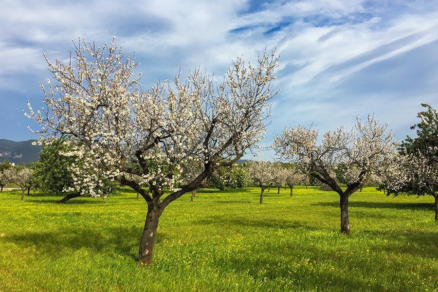 Mandelblüte auf Mallorca, hier Anfang Februar in der Nähe von Santa Maria © Siegbert Mattheis