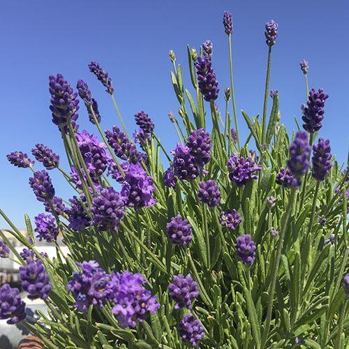 Lavendel betört durch seinen Duft © Siegbert Mattheis