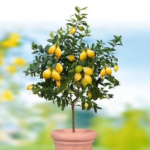 Echter Zitronenbaum mit duftenden, essbaren Zitronen © AS Garten