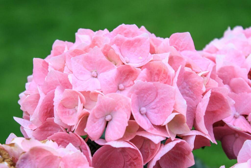 Hortensien in zartem Rosé © Siegbert Mattheis