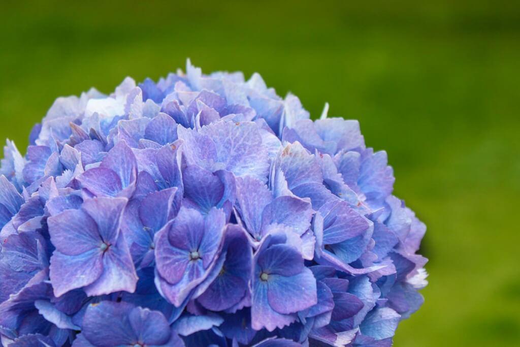 Hortensien in Blau-Violett © Siegbert Mattheis