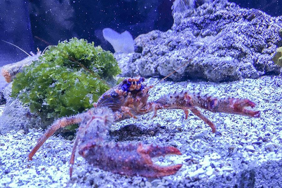 Ungewöhnliche Krabbenart © Siegbert Mattheis