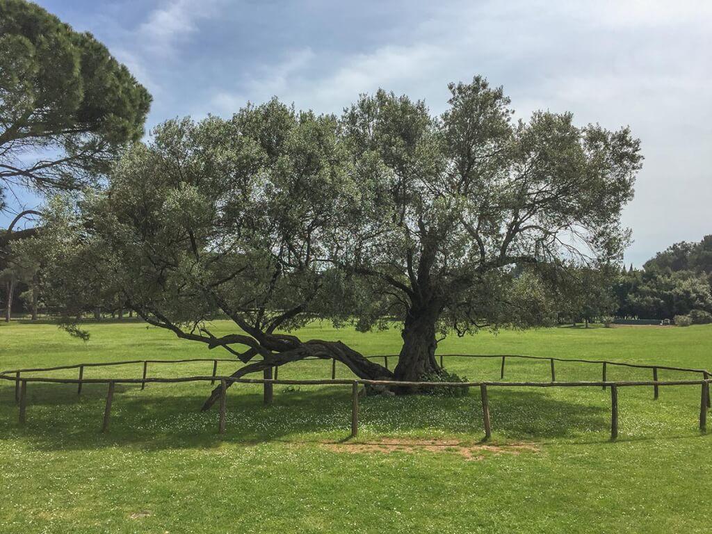 Der 1600 Jahre alte Olivenbaum trägt immer noch Früchte © Siegbert Mattheis