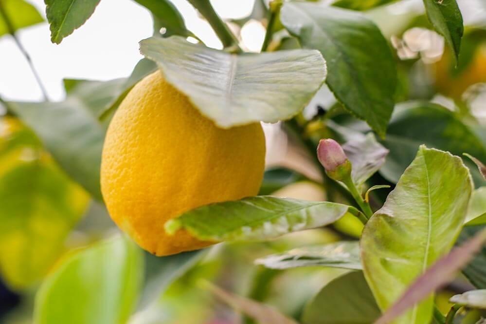 Zitronen aus dem fruchtbaren Tal von Sóller © Siegbert Mattheis