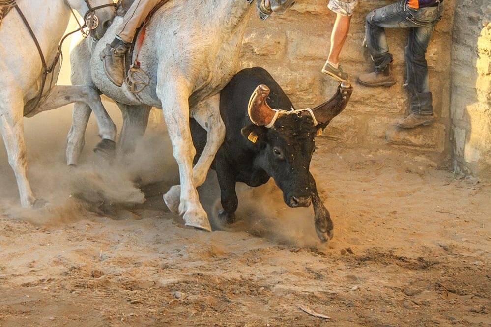 Dieser Stier schlug den Guardians ein Schnippchen und konnte entwischen