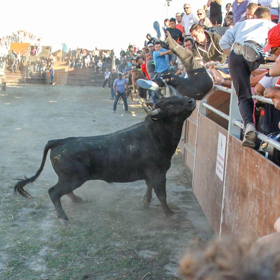 Stier wirbelt Mann hoch auf die Tribüne