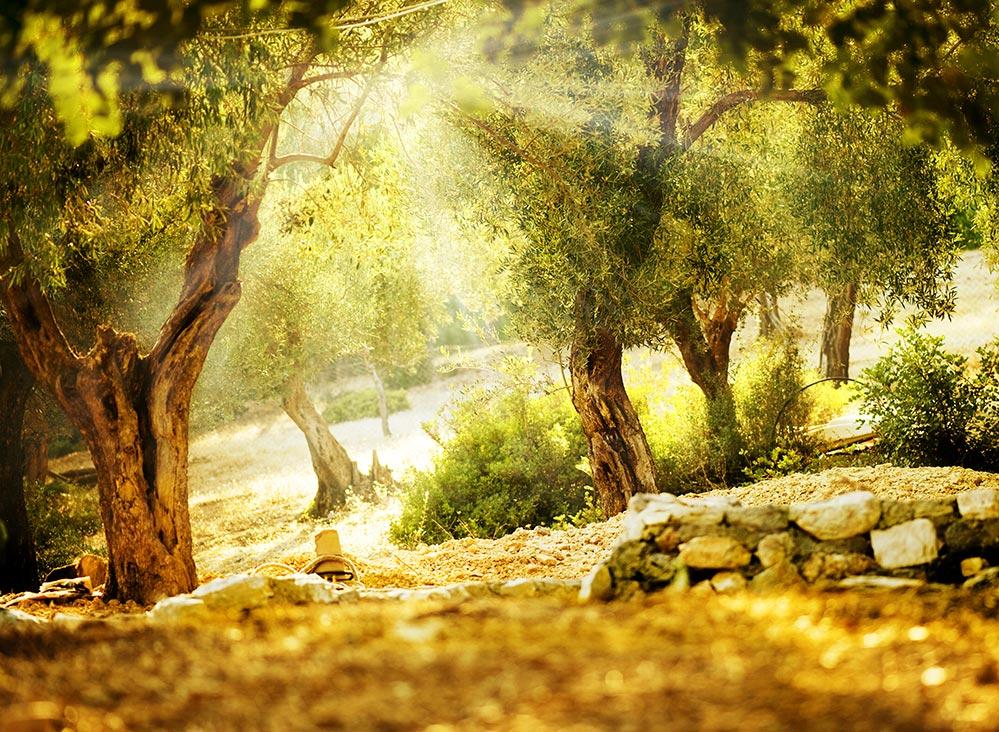 Olivenhain im Sonnenlicht © Fotolia