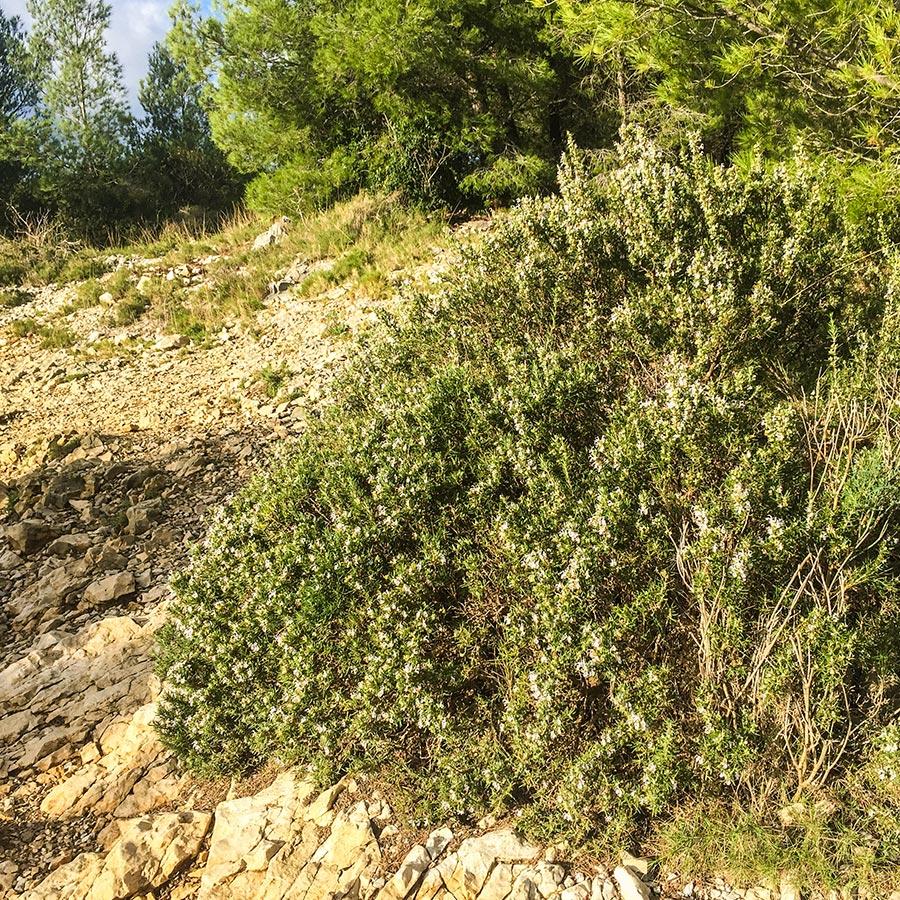 Blühende Rosmarinsträuche überall im Naturpark Calanques