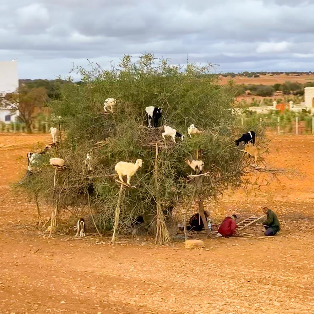 Bauern stellen für die Ziegen Podeste her, damit sie besser an die Früchte gelangen