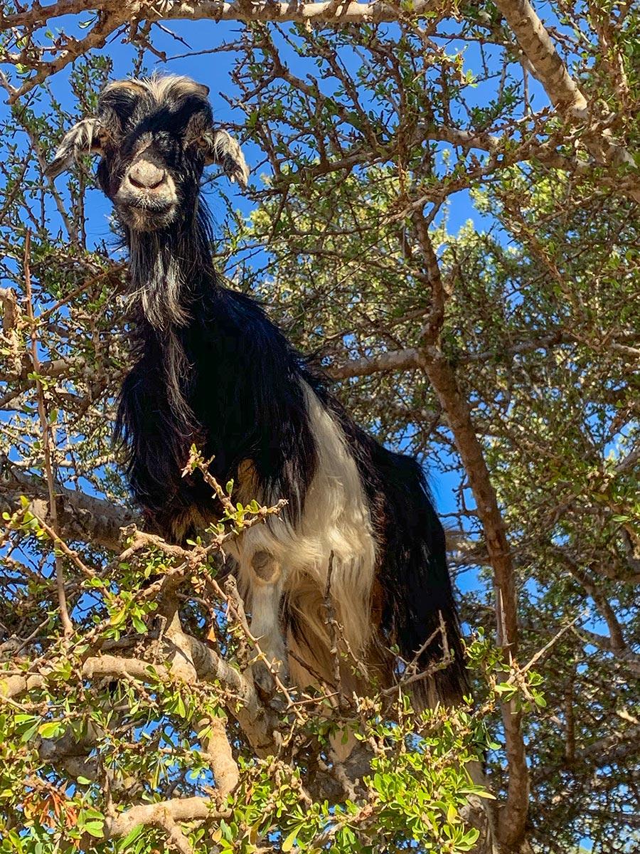 Ziege im Arganbaum