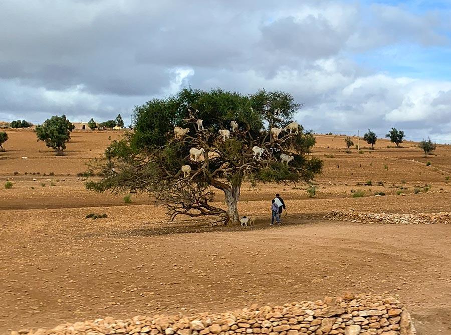 Ziegen in einem Arganbaum