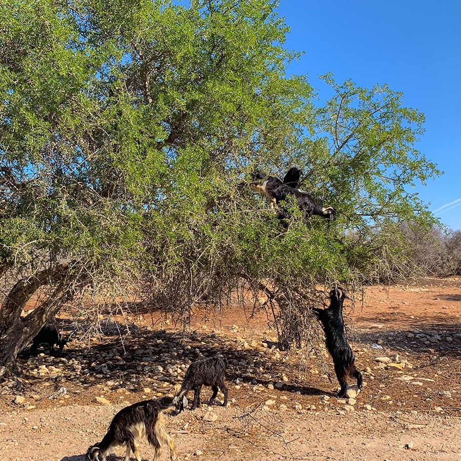 Ziegen an einem Arganbaum