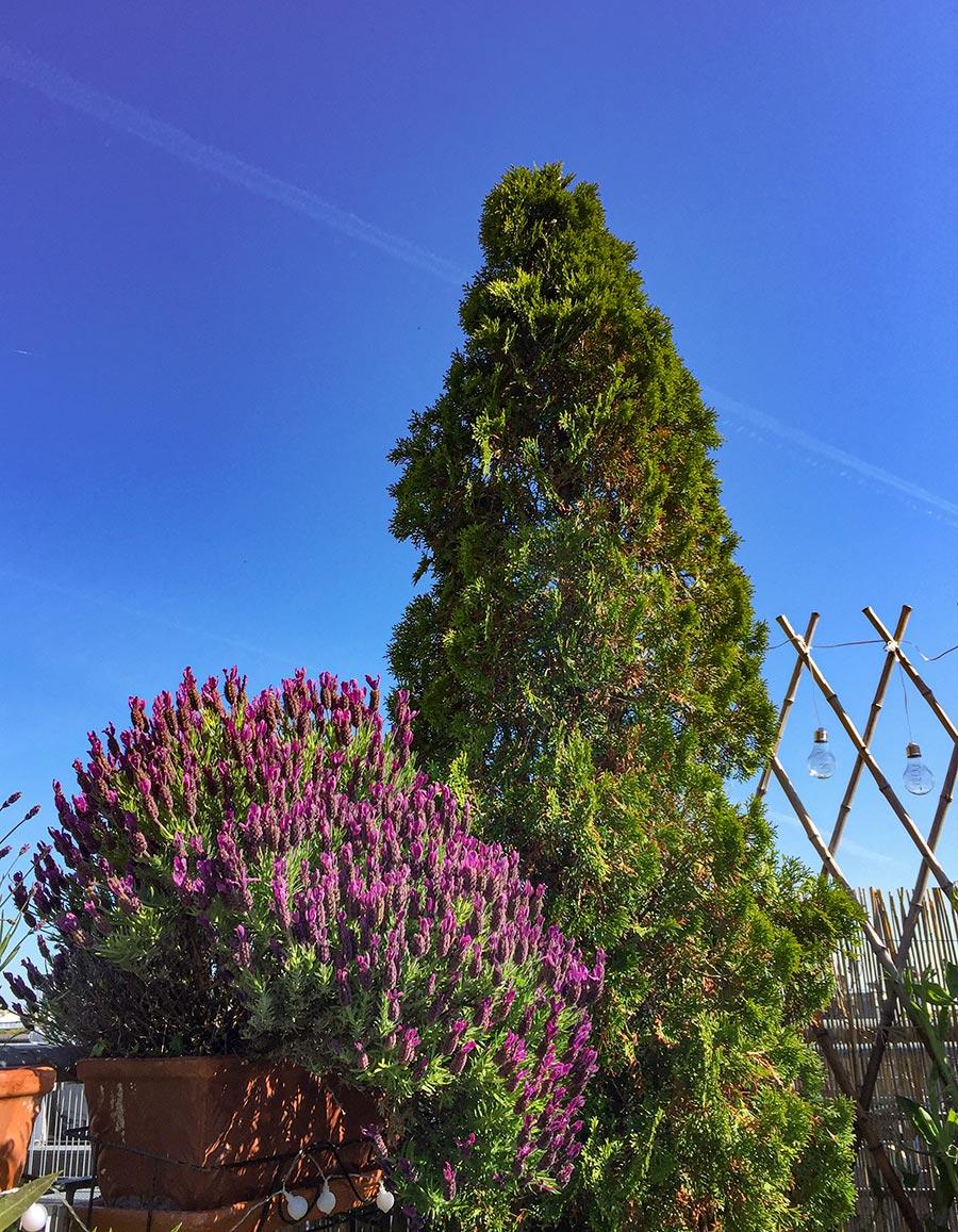Mediterrane Pflanze Scheinzypresse, im Vordergrund Lavendel