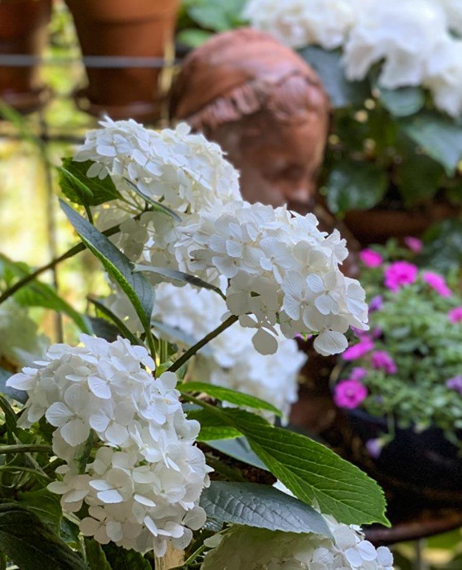 Rein weiße Hortensien © Siegbert Mattheis