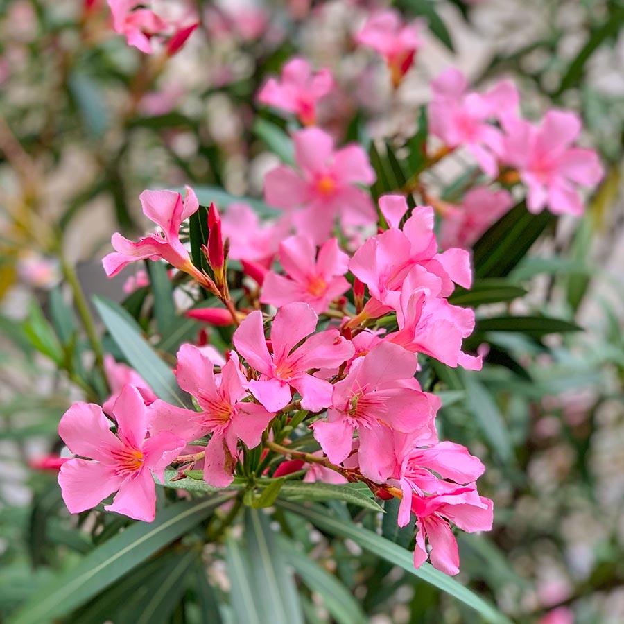Rosafarbener Oleander © Siegbert Mattheis