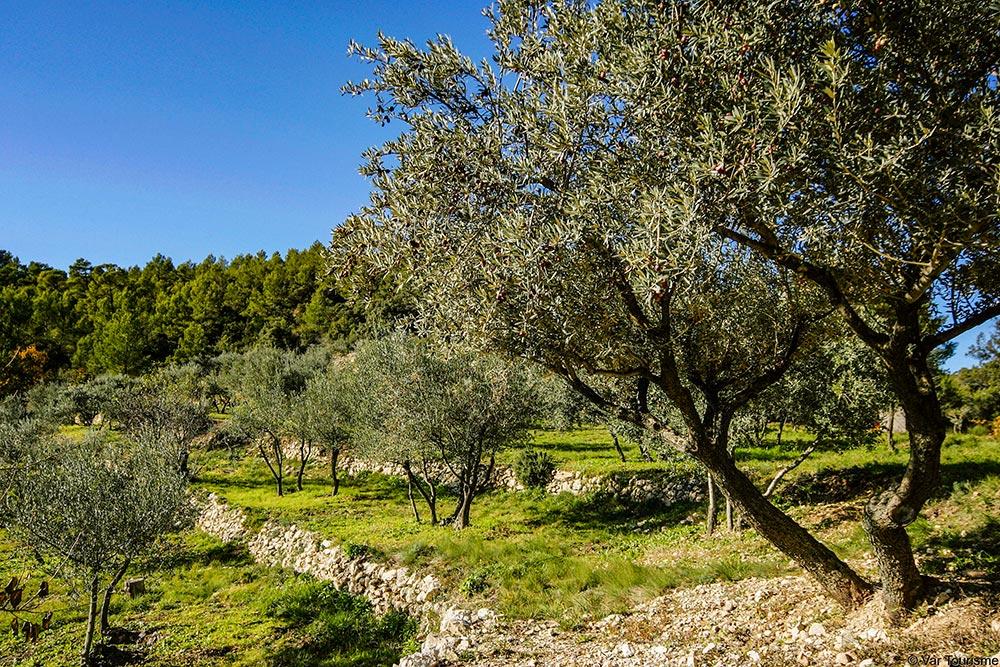 Olivenhain im Var im Terrassenanbau