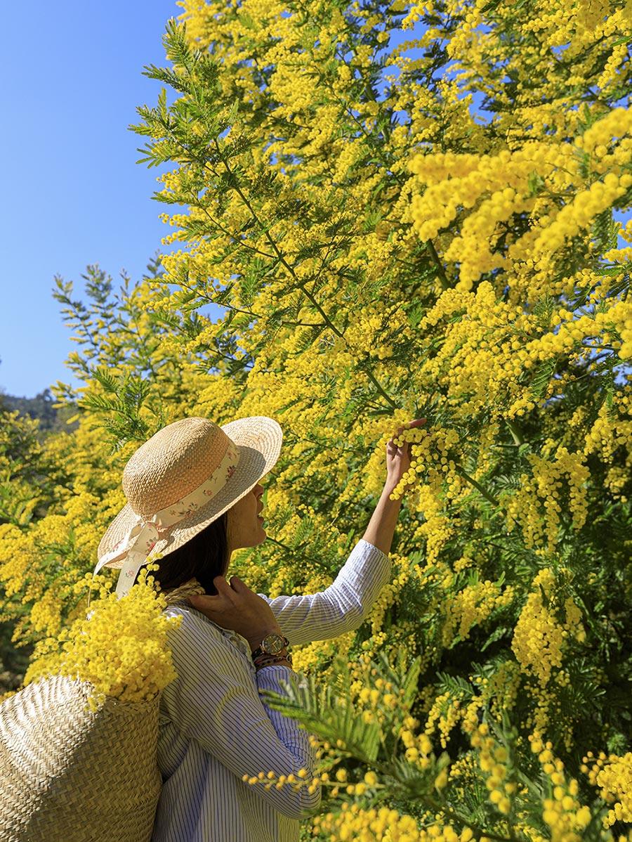 Frau mit Strohhut pflückt an einem Mimosenbaum